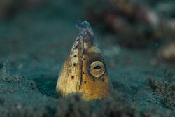 BD-151223-Dauin-9425-Ophichthus-altipennis-(Kaup.-1856)-[Highfin-snake-eel].jpg